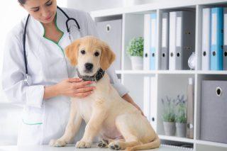 Vétérinaires De Routine Du Chien